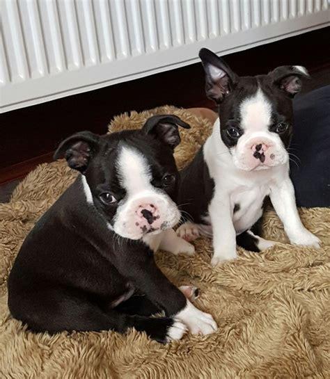 puppy adoption boston boston terrier puppy for adoption offer