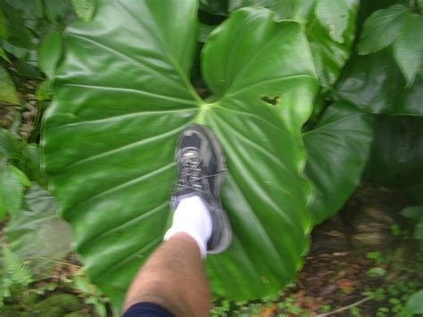 elephant ear plant size 10 foot tim flickr