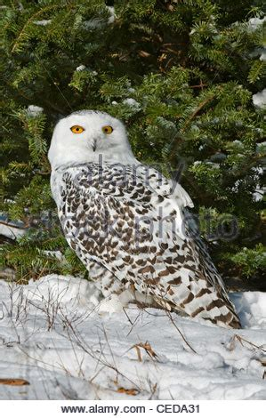 White Owl L Base by Great Snowy Owl Nyctea Scandiacus Sitting On Fence Post