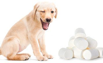 can dogs eat marshmallows food archives the labrador site