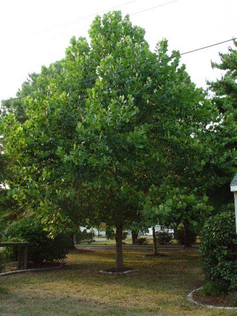 pin indiana state tree tulip poplar on pinterest pin indiana state tree tulip poplar on pinterest