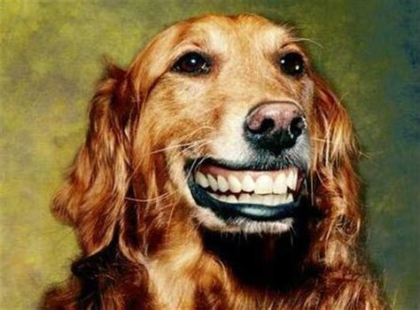 dogs with human teeth i enjoy pictures of dogs with human teeth album on imgur