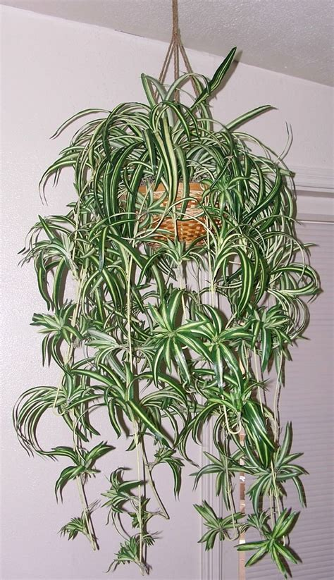spider plant spider plant that produces new plantlets asexually a