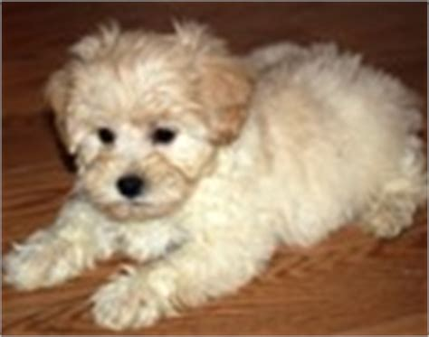 shichon puppies for sale in ky shichon puppies for sale shichon breeders