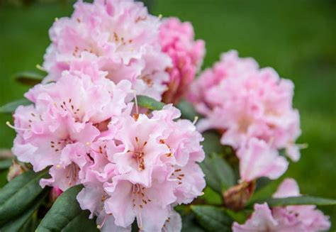 early flowering shrubs rhododendron cheer