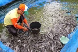 Pakan Ikan Lele Sesuai Umur berapa bulan ikan lele bisa dipanen mancing ikan mania