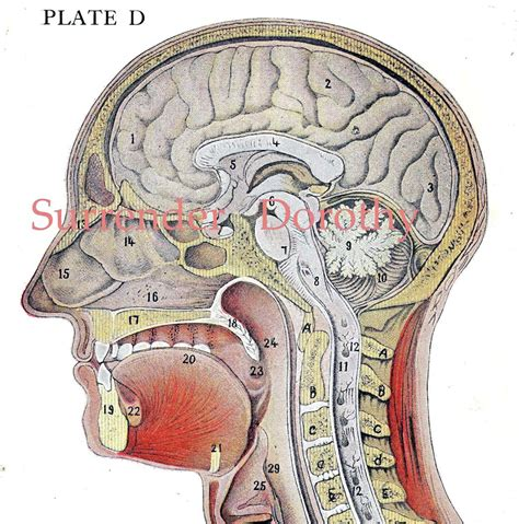 skull cross section cross section human head brain anatomy lithograph illustration