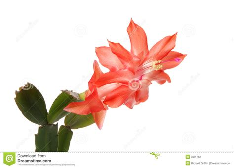 salmon colored flowers background cactus flower stock photography image 3991762