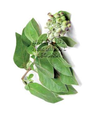 Obat Herbal Vitex legundi herbal legundi vitex trifolia nature