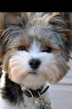 german yorkie puppies exquisite biewer golddust terrier puppies terrier biewer