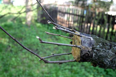 fruit tree grafting methods file apple tree grafting 2 jpg