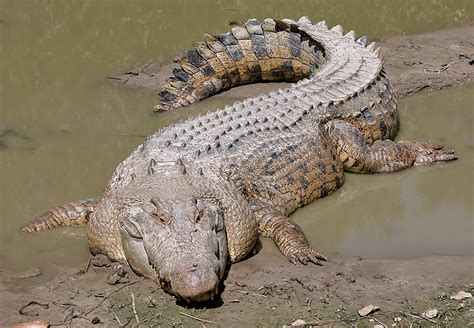 alligators and crocodiles national cannundrums crocodile striploin appetizers