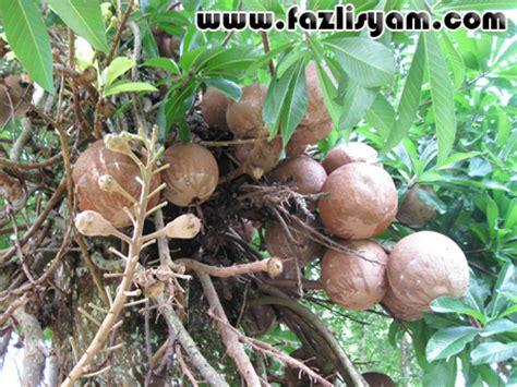 cara membuat minyak kelapa dalam bahasa inggris cannon ball0