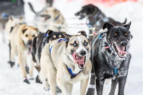 alaska puppies dallas seavey wins his third iditarod