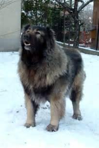 Caucasian mountain shepherd puppies http excitementnnet blogspot com