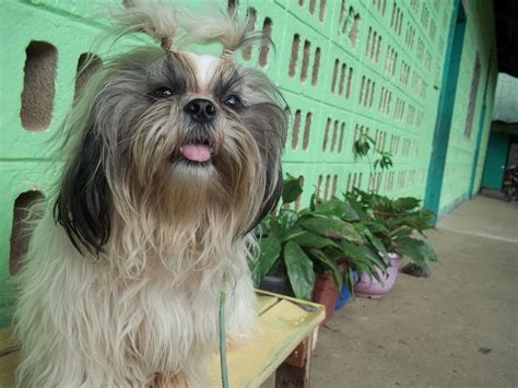 how often to feed a shih tzu fruits and veggies you can give to your shih tzu
