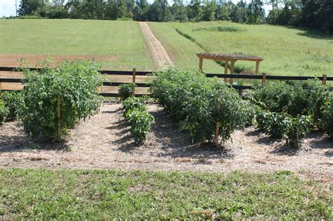 World Garden Farms by How To Build The Ultimate Tomato Cage For 2 The