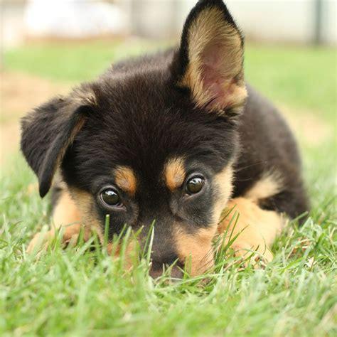 too cute german shepherd puppies german shepherd puppy no cats allowed pinterest