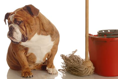 dogs pee in house older dog peeing or pooping in your house