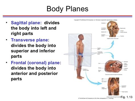 divides body or organ into unequal right and left sections seeley chapter 1