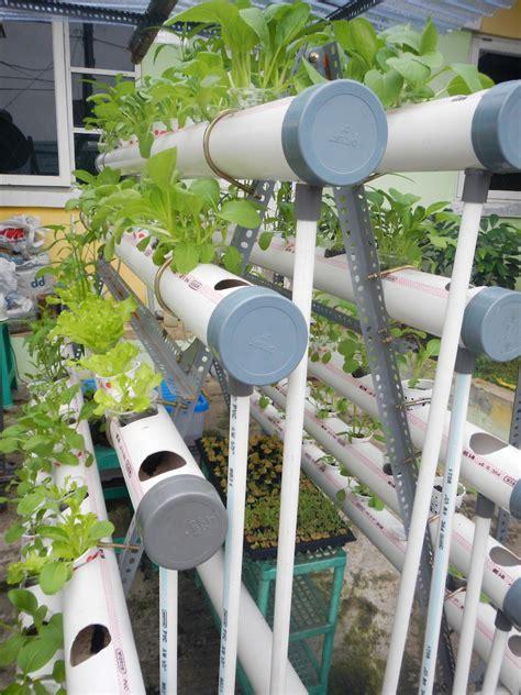 Jual Bibit Kangkung Air hidroponik panen perdana