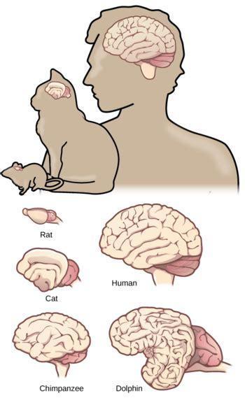 brain size brain size