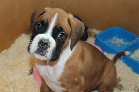 boxer for sale flashy boxer pups for sale pontyclun rhondda cynon taff pets4homes