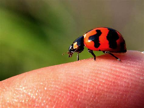 nama bug 4g telkomsel adalah inilah lady bug sama nama tapi beda alam mongabay co id