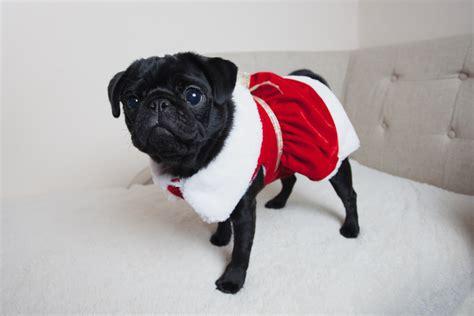 black pugs in costumes marceline puppy pug pet pugs boo 2015 pug puppy black pug