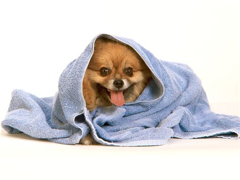 how to bathe a pomeranian puppy pomeranian after the bath dogs wallpaper