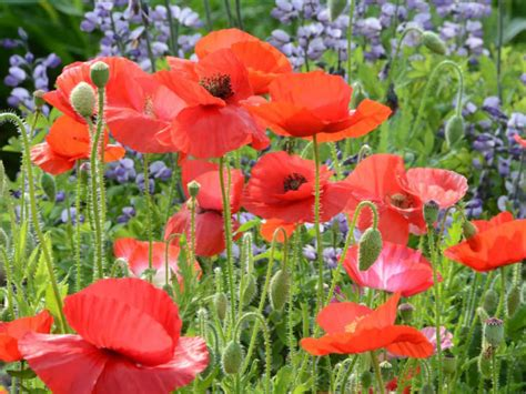 how to grow and care for a corn poppy papaver rhoeas