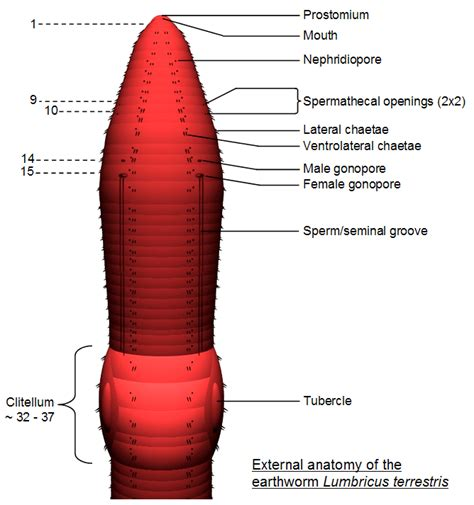 earthworm anatomy diagram image gallery labeled worm