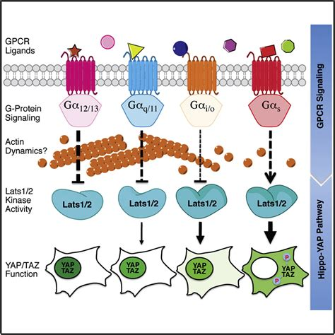 g protein pathway regulation of the hippo yap pathway by g protein coupled
