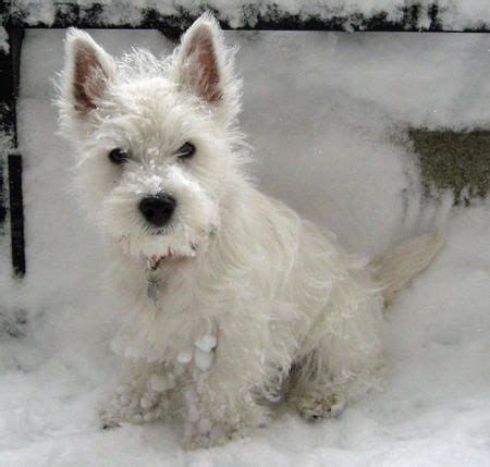 get westies hair white 17 best images about westies and cairns on pinterest