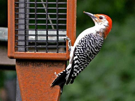 Bird Feeders Indianapolis Greg S Birds Ii
