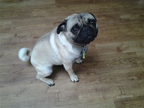 pugs 100 years ago pug for stud leeds west pets4homes