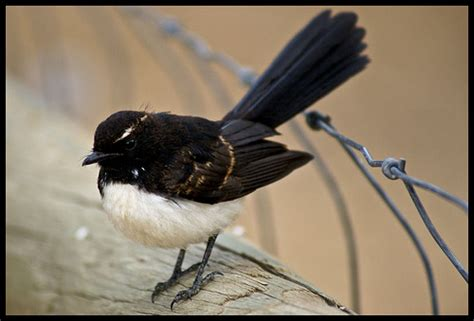 willy wagtail pearltrees