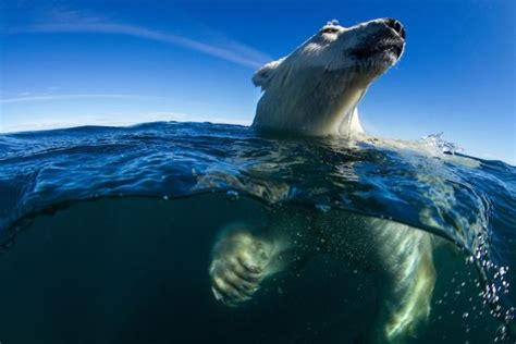 wildlife boat r near me the best nature photo of the year is this badass polar bear
