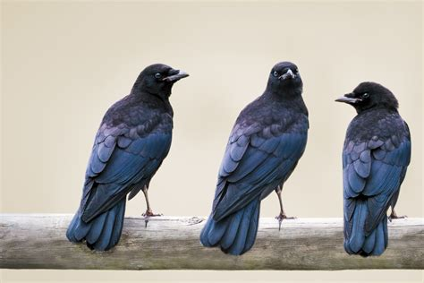 crow bar crows and ravens corvids references