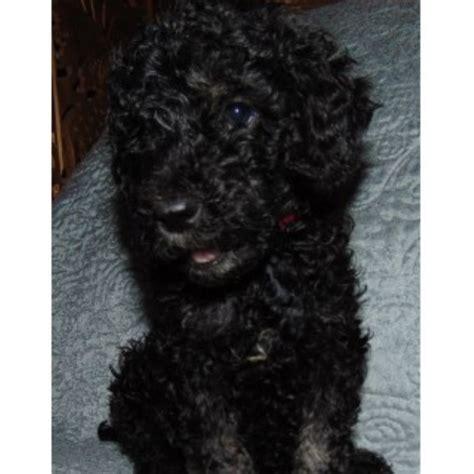 border doodle puppies for sale australia auntie s doodles labradoodle breeder in lake ozark