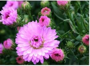 pink annual flowers pictures images