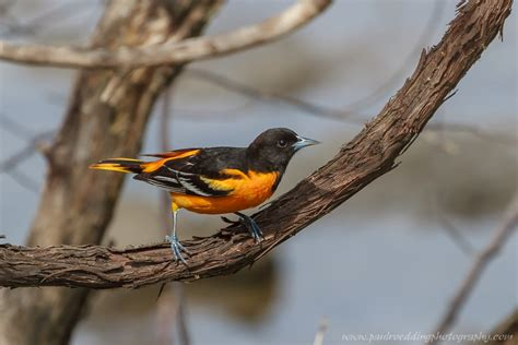 how to attract baltimore orioles to your backyard 28