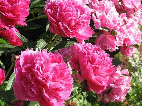 how to grow peonies how to grow stuff