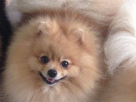 show pomeranian show quality pomeranian reading berkshire pets4homes