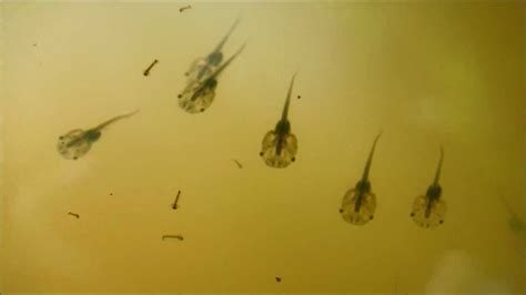 African Clawed Frog Tadpoles Swimming Among Mosquito ...