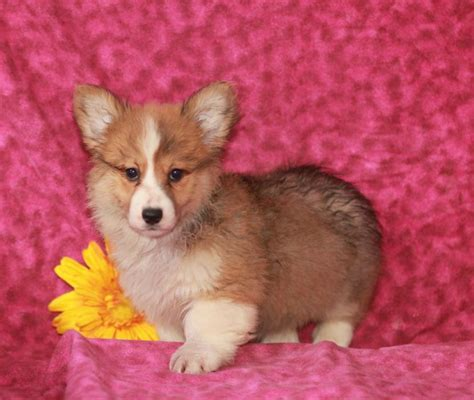 corgi puppies craigslist adorable intelligent corgi puppies craigspets