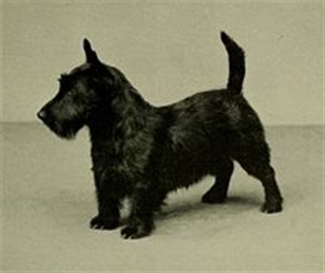 how to give a scottish terrier a hair cut scottish terrier wikipedia