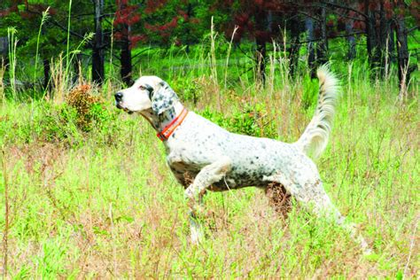 american setter dog english setter awards by dorothy hyder american field