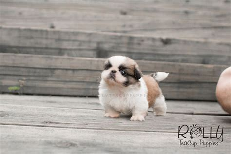 rolly teacup puppies for sale beau pekingese rolly teacup puppies