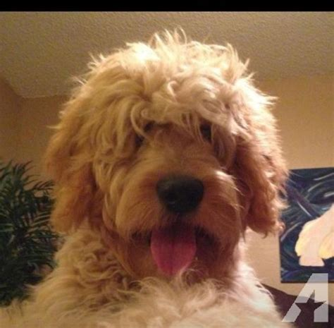 goldendoodle puppies for sale in tx f1b goldendoodle puppies for sale in stephenville